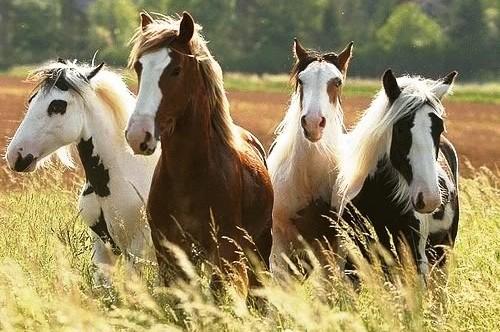 Foder til islandske heste
